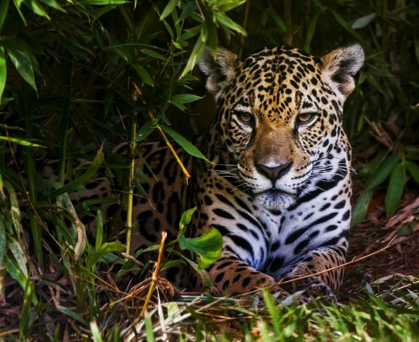 A jaguar rests in a bush.